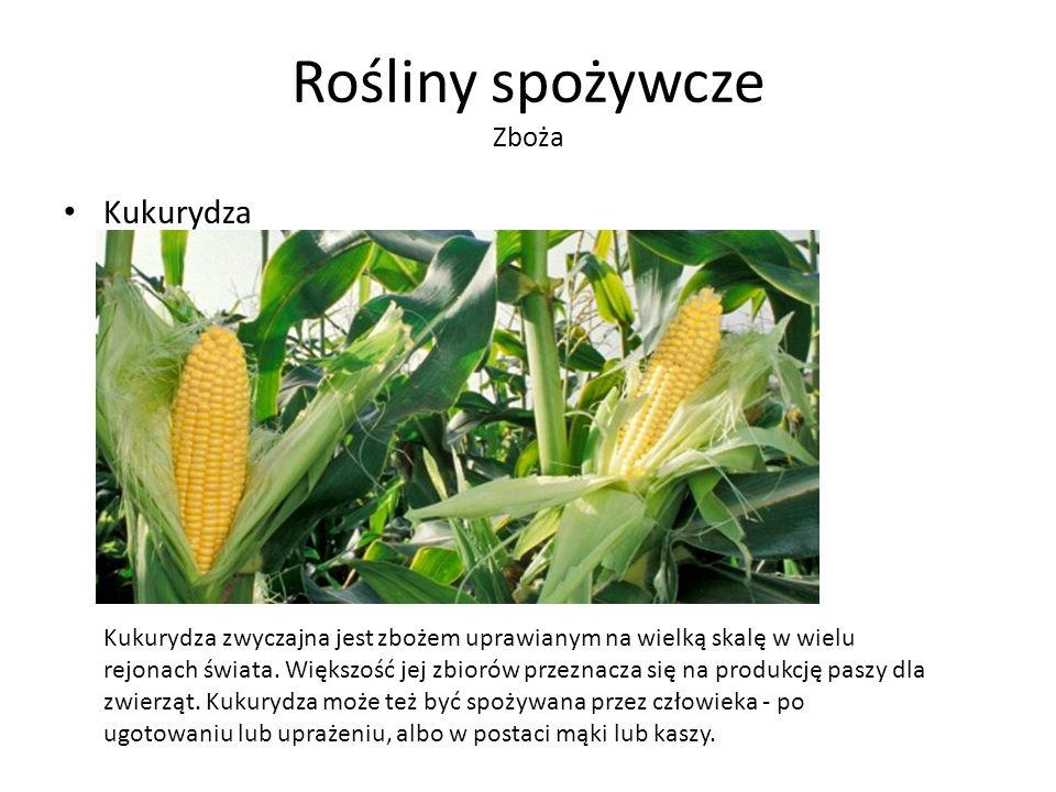 Rośliny spożywcze Zboża Kukurydza Kukurydza zwyczajna jest zbożem uprawianym na wielką skalę w wielu rejonach świata.
