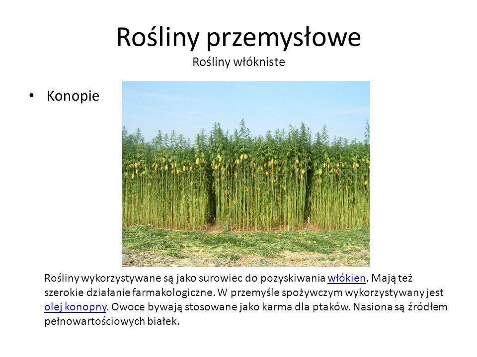 Rośliny przemysłowe Rośliny włókniste Konopie Rośliny wykorzystywane są jako surowiec do pozyskiwania włókien.