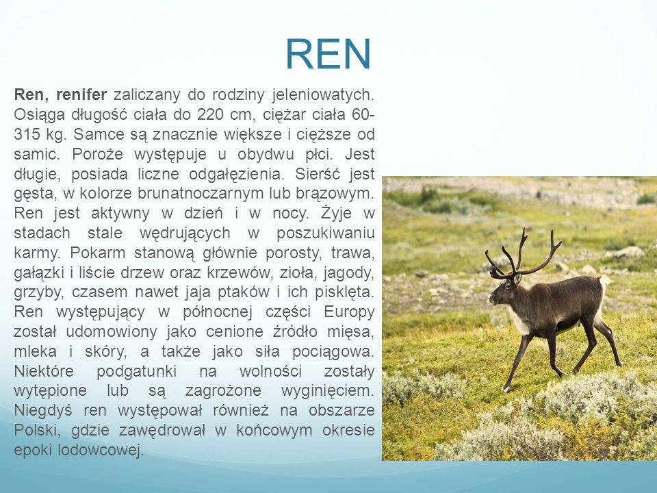 REN Ren, renifer zaliczany do rodziny jeleniowatych. Osiąga długość ciała do 220 cm, ciężar ciała 60- 315 kg. Samce są znacznie większe i cięższe od s