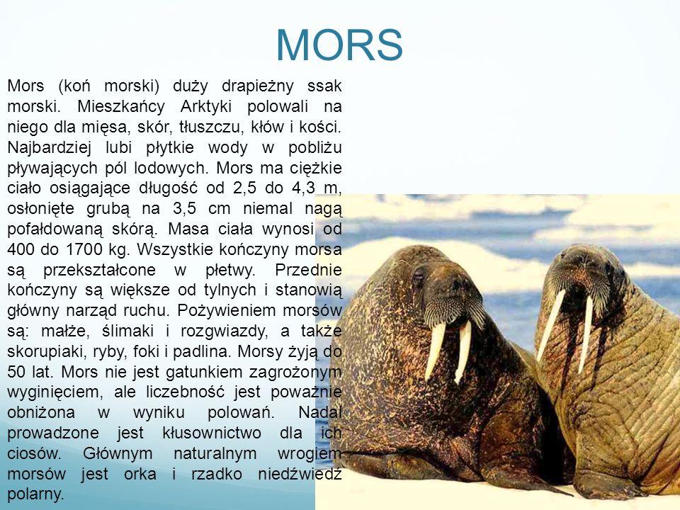MORS Mors (koń morski) duży drapieżny ssak morski. Mieszkańcy Arktyki polowali na niego dla mięsa, skór, tłuszczu, kłów i kości. Najbardziej lubi płyt