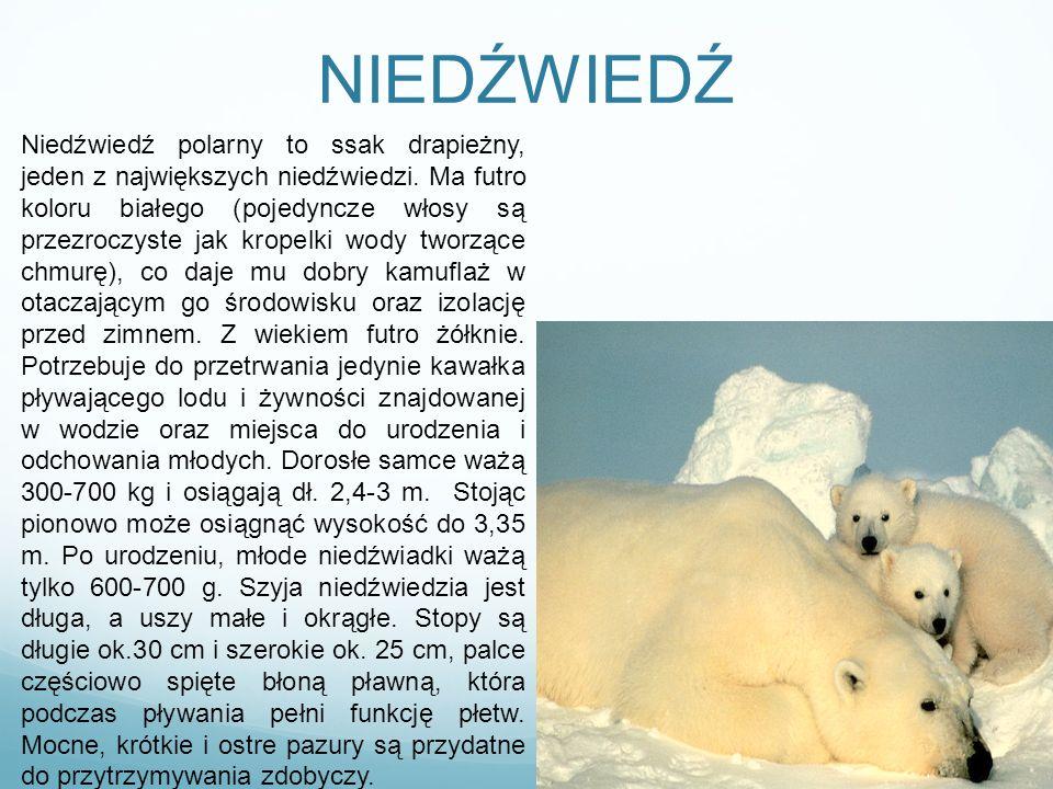 NIEDŹWIEDŹ Niedźwiedź polarny to ssak drapieżny, jeden z największych niedźwiedzi. Ma futro koloru białego (pojedyncze włosy są przezroczyste jak krop