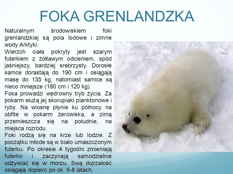 FOKA GRENLANDZKA Naturalnym środowiskiem foki grenlandzkiej są pola lodowe i zimne wody Arktyki. Wierzch ciała pokryty jest szarym futerkiem z żółtawy