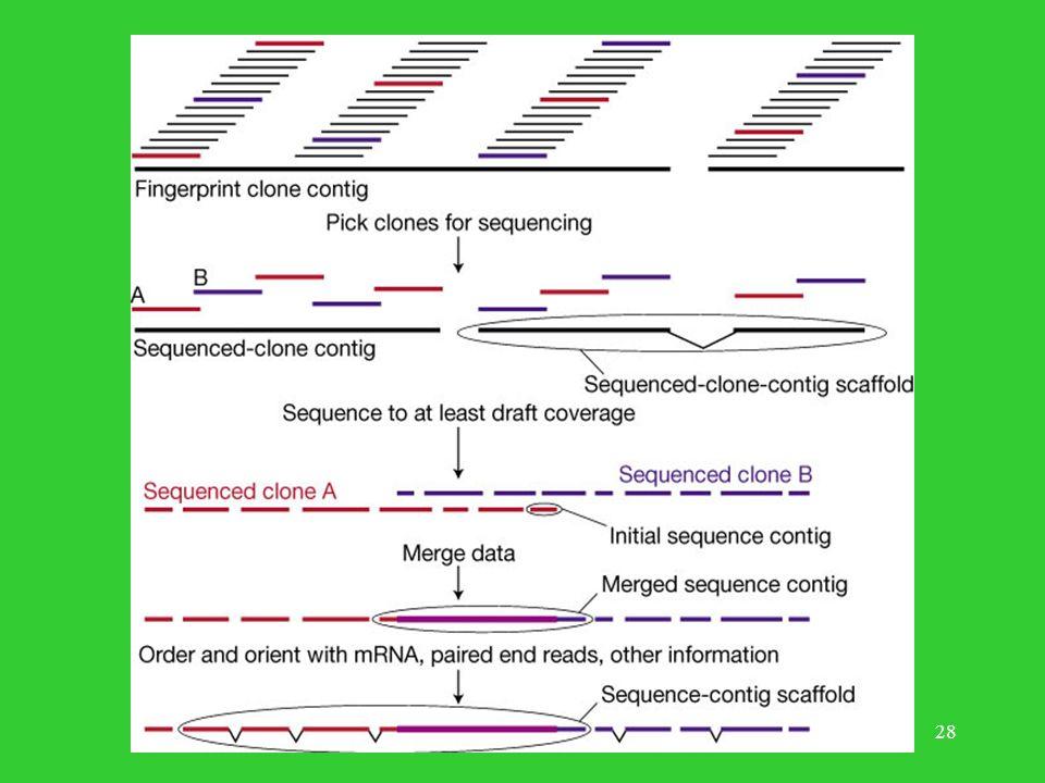 27 Logistyka składania genomu Składanie pojedynczych klonów. Związanie zsekwencjonowanych klonów z pozycjami na fizycznej mapie genomu. Poprawianie ni