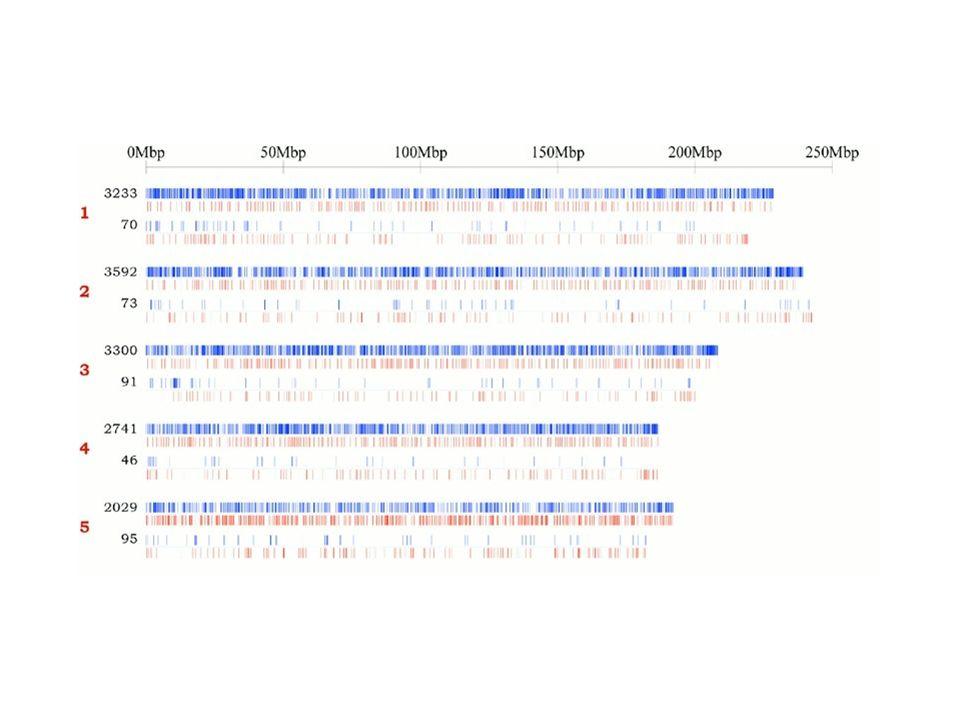 83 Przerwy i złamania w obu sekwencjach Górna cześć – Konsorcjum. Dolna część – Celera. Czerwona kreska – przerwa co najmniej 10Kb. Niebieska kreska –