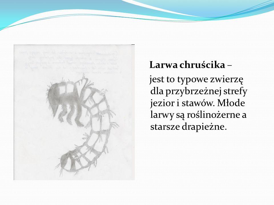 Larwa chruścika – jest to typowe zwierzę dla przybrzeżnej strefy jezior i stawów.
