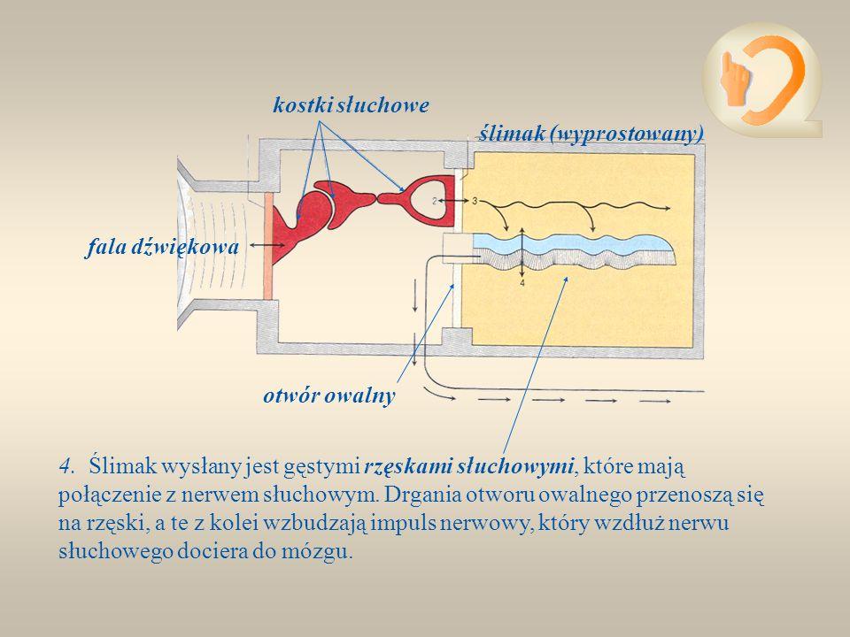 2. Kosteczki słuchowe przylegają do błoniastego otworu owalnego. Drgania kostek przenoszą się na błonę otworu owalnego. Drgania te są już około 30 raz