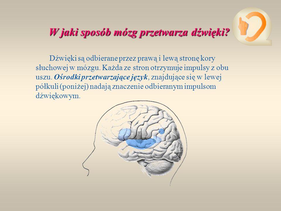 4. Ślimak wysłany jest gęstymi rzęskami słuchowymi, które mają połączenie z nerwem słuchowym. Drgania otworu owalnego przenoszą się na rzęski, a te z