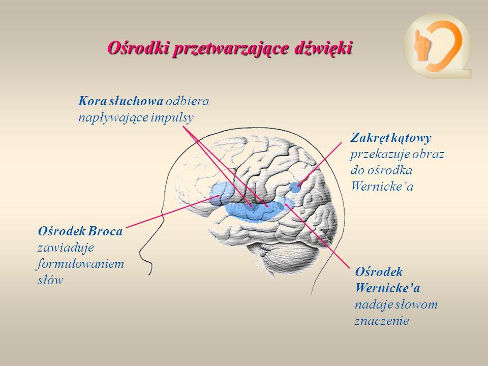 Kora słuchowa odbiera napływające impulsy Zakręt kątowy przekazuje obraz do ośrodka Wernickea Ośrodek Wernickea nadaje słowom znaczenie Ośrodek Broca zawiaduje formułowaniem słów Ośrodki przetwarzające dźwięki