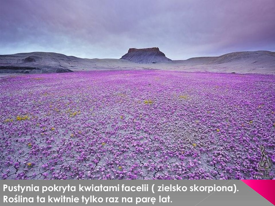 Pustynia pokryta kwiatami facelii ( zielsko skorpiona). Roślina ta kwitnie tylko raz na parę lat.