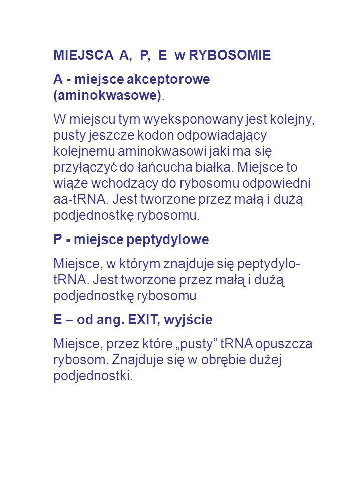MIEJSCA A, P, E w RYBOSOMIE A - miejsce akceptorowe (aminokwasowe). W miejscu tym wyeksponowany jest kolejny, pusty jeszcze kodon odpowiadający kolejn