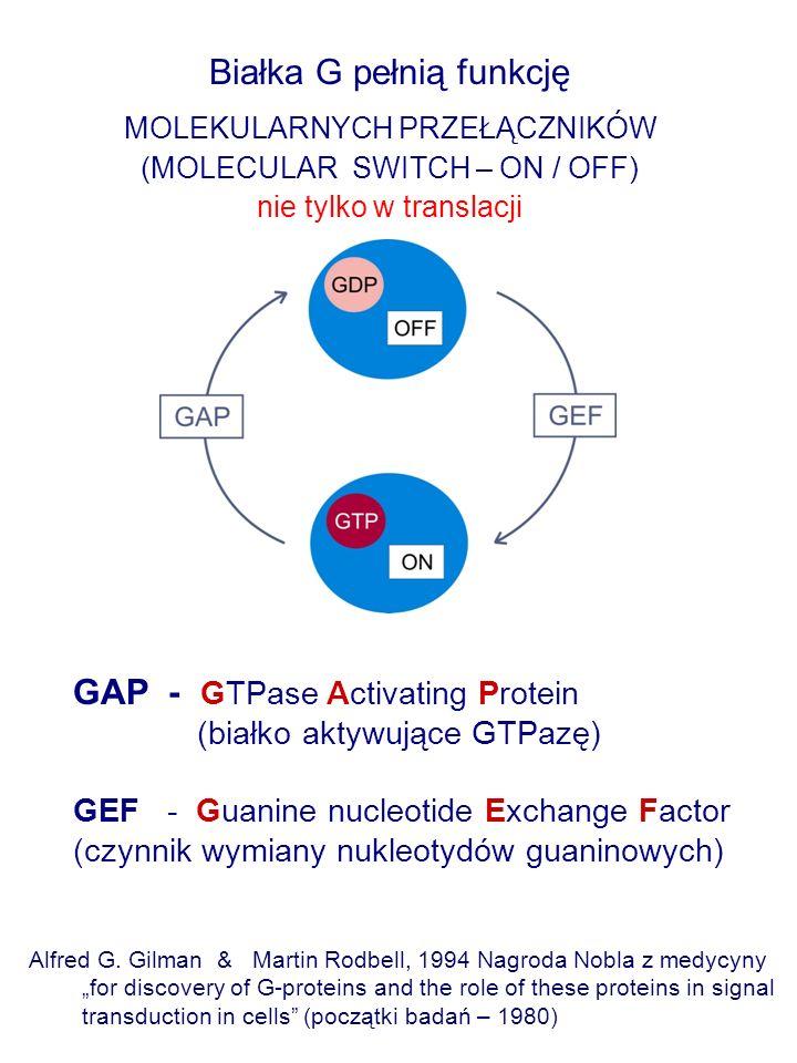 Białka G pełnią funkcję MOLEKULARNYCH PRZEŁĄCZNIKÓW (MOLECULAR SWITCH – ON / OFF) nie tylko w translacji Alfred G.