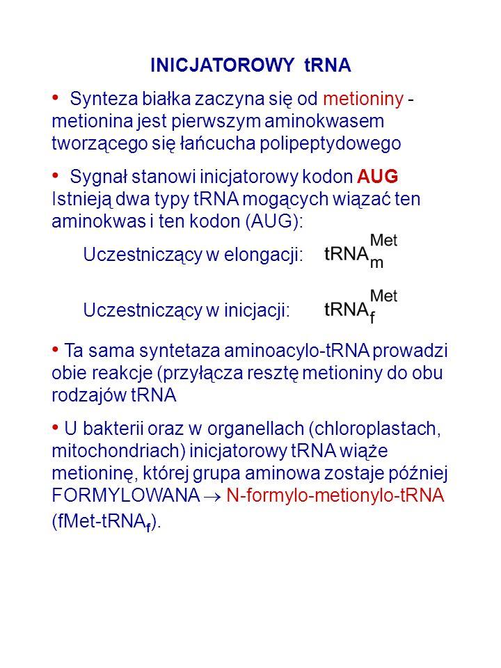 INICJATOROWY tRNA Synteza białka zaczyna się od metioniny - metionina jest pierwszym aminokwasem tworzącego się łańcucha polipeptydowego Sygnał stanow