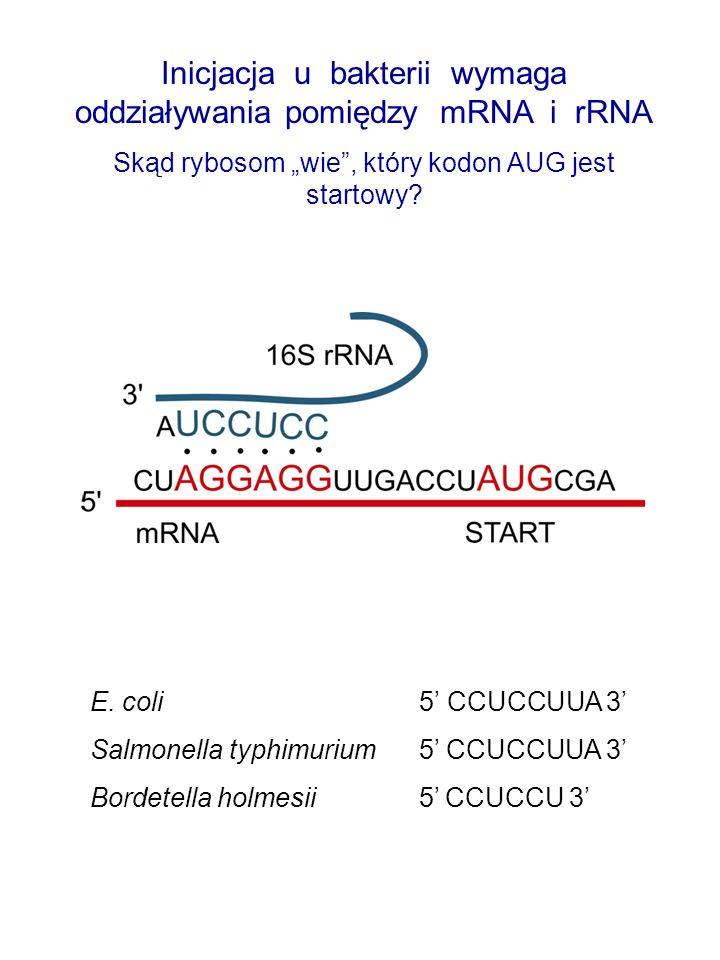 Inicjacja u bakterii wymaga oddziaływania pomiędzy mRNA i rRNA Skąd rybosom wie, który kodon AUG jest startowy? E. coli 5 CCUCCUUA 3 Salmonella typhim