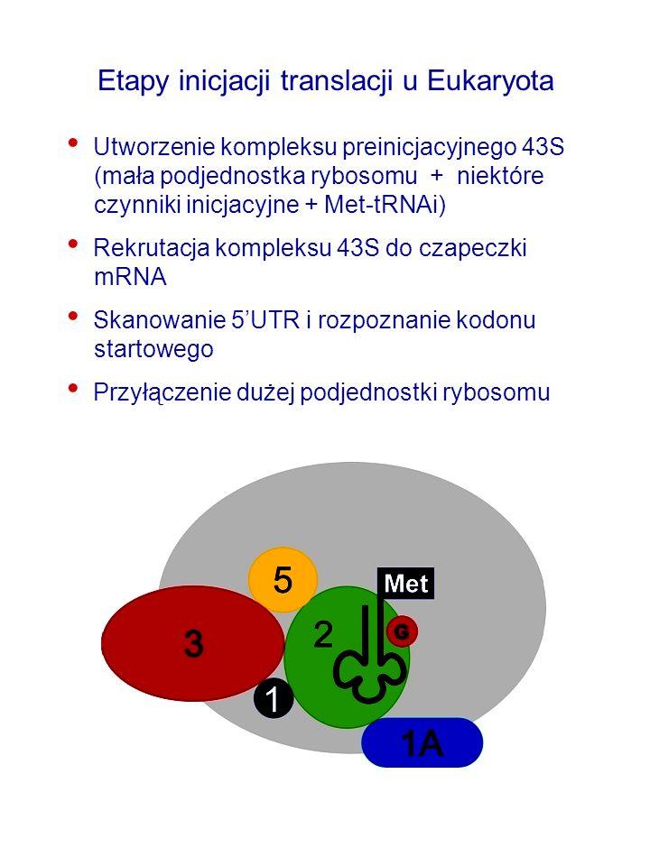 Etapy inicjacji translacji u Eukaryota Utworzenie kompleksu preinicjacyjnego 43S (mała podjednostka rybosomu + niektóre czynniki inicjacyjne + Met-tRNAi) Rekrutacja kompleksu 43S do czapeczki mRNA Skanowanie 5UTR i rozpoznanie kodonu startowego Przyłączenie dużej podjednostki rybosomu