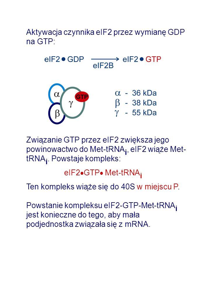 Aktywacja czynnika eIF2 przez wymianę GDP na GTP: Związanie GTP przez eIF2 zwiększa jego powinowactwo do Met-tRNA i, eIF2 wiąże Met- tRNA i.
