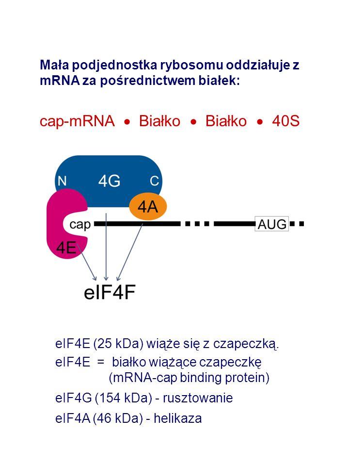 Mała podjednostka rybosomu oddziałuje z mRNA za pośrednictwem białek: cap-mRNA Białko Białko 40S eIF4E (25 kDa) wiąże się z czapeczką. eIF4E = białko