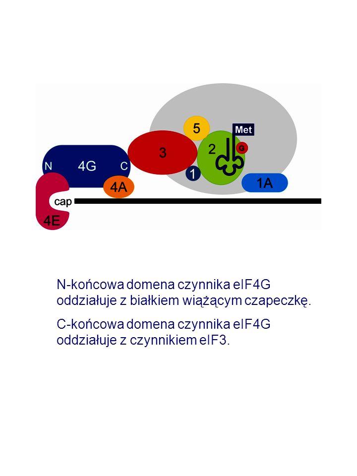 N-końcowa domena czynnika eIF4G oddziałuje z białkiem wiążącym czapeczkę. C-końcowa domena czynnika eIF4G oddziałuje z czynnikiem eIF3.