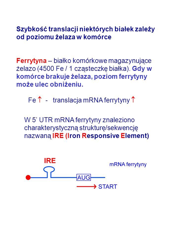 Szybkość translacji niektórych białek zależy od poziomu żelaza w komórce Ferrytyna – białko komórkowe magazynujące żelazo (4500 Fe / 1 cząsteczkę biał