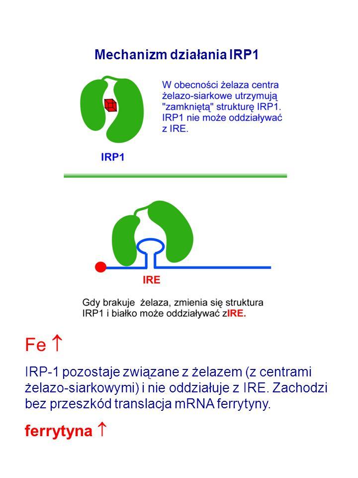 Mechanizm działania IRP1 Fe IRP-1 pozostaje związane z żelazem (z centrami żelazo-siarkowymi) i nie oddziałuje z IRE.