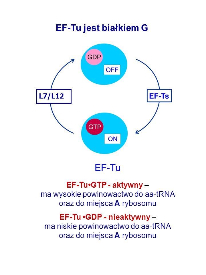 EF-TuGTP - aktywny – ma wysokie powinowactwo do aa-tRNA oraz do miejsca A rybosomu EF-Tu GDP - nieaktywny – ma niskie powinowactwo do aa-tRNA oraz do miejsca A rybosomu EF-Tu jest białkiem G L7/L12