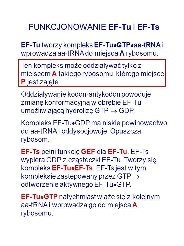 FUNKCJONOWANIE EF-Tu i EF-Ts EF-Tu tworzy kompleks EF-Tu GTP aa-tRNA i wprowadza aa-tRNA do miejsca A rybosomu. Ten kompleks może oddziaływać tylko z