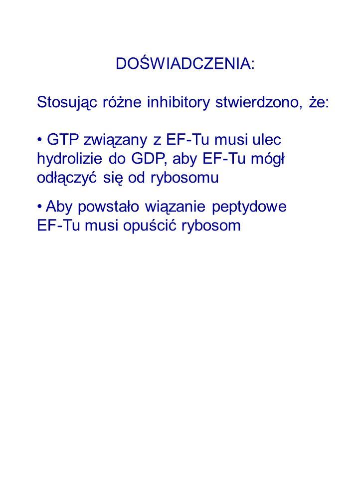 DOŚWIADCZENIA: Stosując różne inhibitory stwierdzono, że: GTP związany z EF-Tu musi ulec hydrolizie do GDP, aby EF-Tu mógł odłączyć się od rybosomu Aby powstało wiązanie peptydowe EF-Tu musi opuścić rybosom