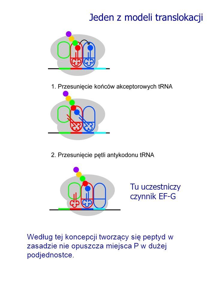 Jeden z modeli translokacji Według tej koncepcji tworzący się peptyd w zasadzie nie opuszcza miejsca P w dużej podjednostce. Tu uczestniczy czynnik EF