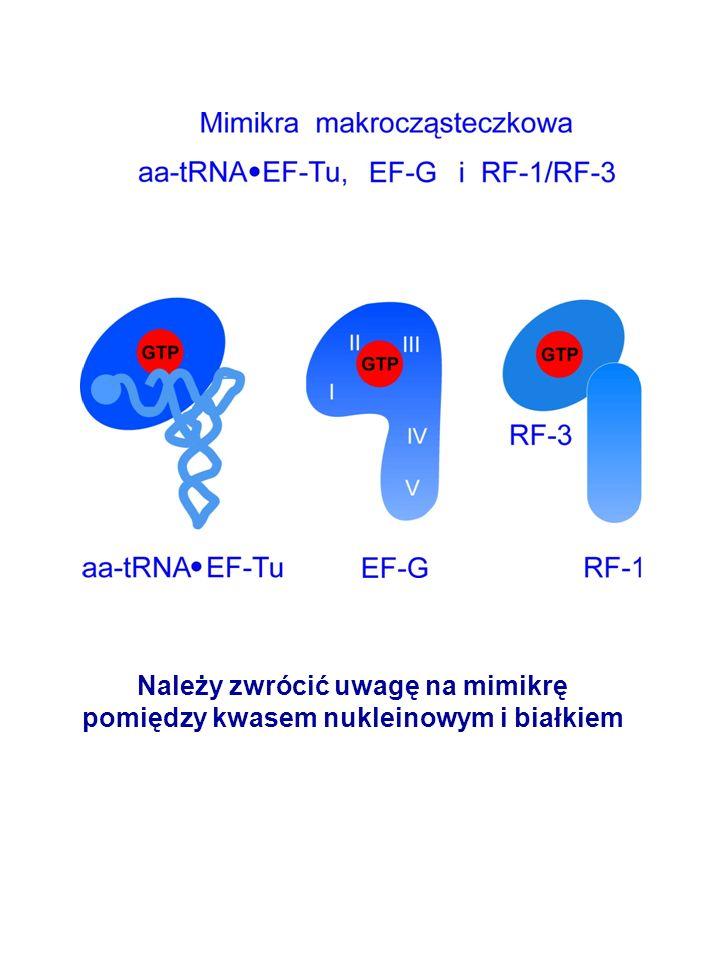 Należy zwrócić uwagę na mimikrę pomiędzy kwasem nukleinowym i białkiem