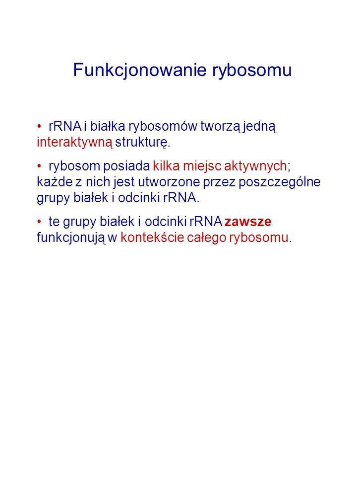 Funkcjonowanie rybosomu rRNA i białka rybosomów tworzą jedną interaktywną strukturę.