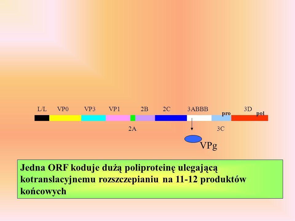 L/LVP0VP3VP1 2A 2B2C3ABBB 3C 3D Jedna ORF koduje dużą poliproteinę ulegającą kotranslacyjnemu rozszczepianiu na 11-12 produktów końcowych propol VPg
