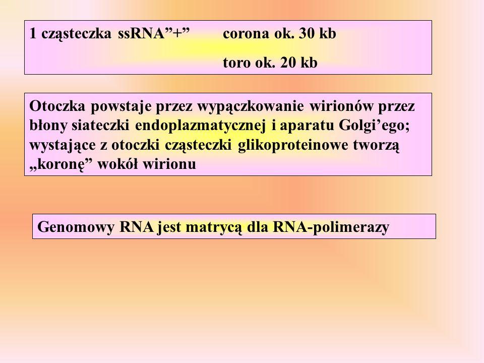 1 cząsteczka ssRNA+corona ok. 30 kb toro ok. 20 kb Genomowy RNA jest matrycą dla RNA-polimerazy Otoczka powstaje przez wypączkowanie wirionów przez bł
