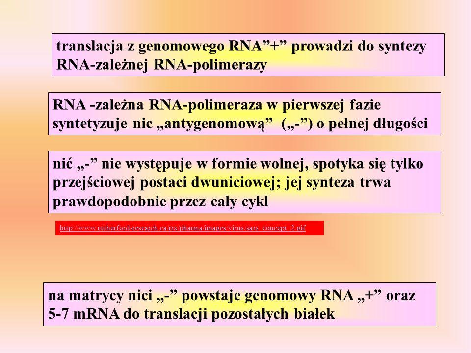 RNA -zależna RNA-polimeraza w pierwszej fazie syntetyzuje nic antygenomową (-) o pełnej długości nić - nie występuje w formie wolnej, spotyka się tylko przejściowej postaci dwuniciowej; jej synteza trwa prawdopodobnie przez cały cykl translacja z genomowego RNA+ prowadzi do syntezy RNA-zależnej RNA-polimerazy na matrycy nici - powstaje genomowy RNA + oraz 5-7 mRNA do translacji pozostałych białek http://www.rutherford-research.ca/rrx/pharma/images/virus/sars_concept_2.gif