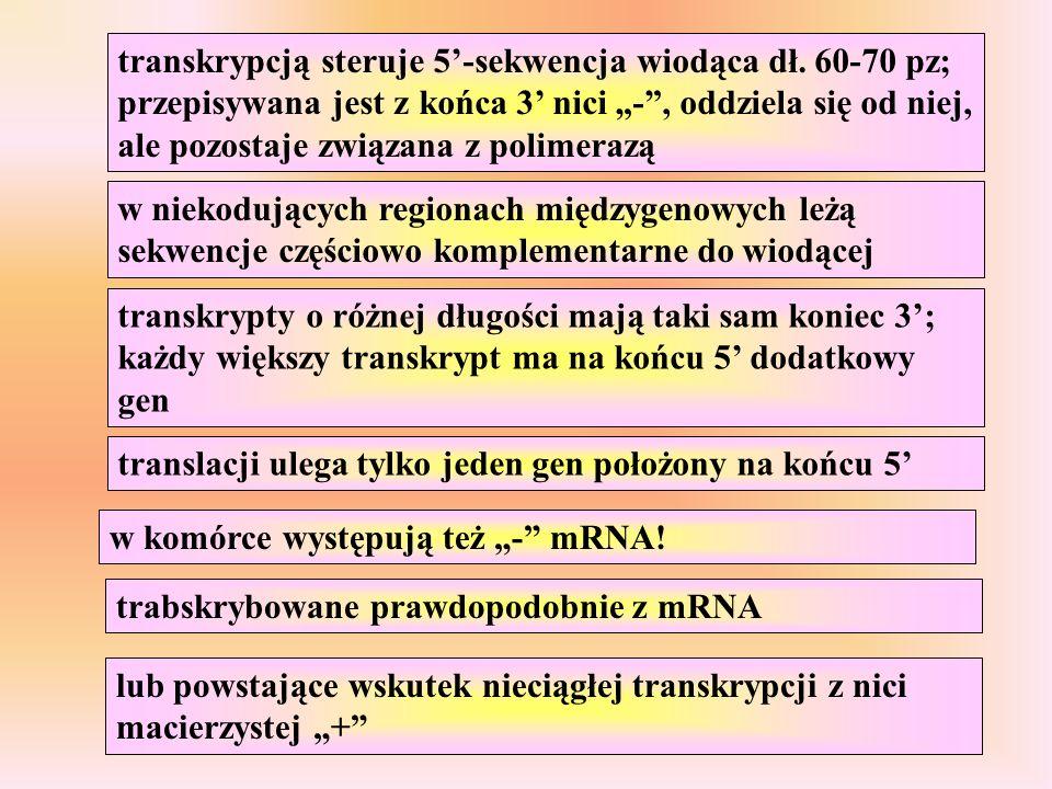 transkrypty o różnej długości mają taki sam koniec 3; każdy większy transkrypt ma na końcu 5 dodatkowy gen translacji ulega tylko jeden gen położony n