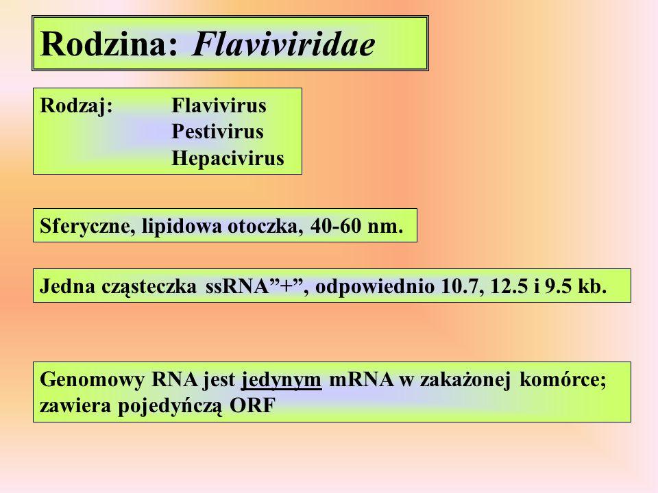 Rodzina: Flaviviridae Rodzaj:Flavivirus Pestivirus Hepacivirus Sferyczne, lipidowa otoczka, 40-60 nm. Jedna cząsteczka ssRNA+, odpowiednio 10.7, 12.5