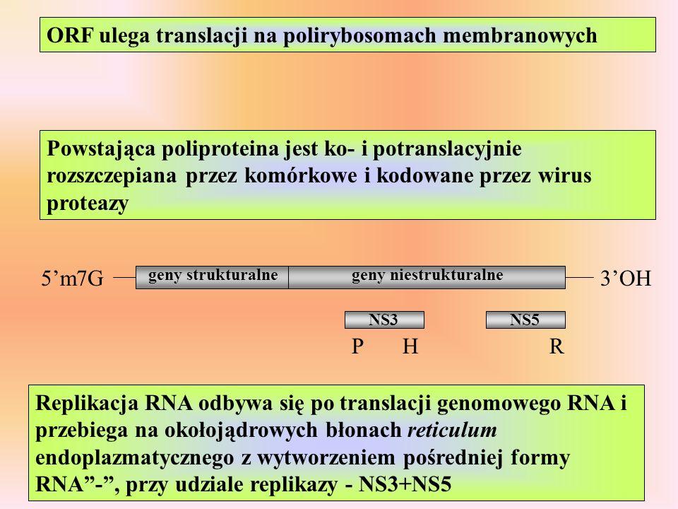 5m7G3OH geny strukturalnegeny niestrukturalne PHR NS3NS5 Powstająca poliproteina jest ko- i potranslacyjnie rozszczepiana przez komórkowe i kodowane p