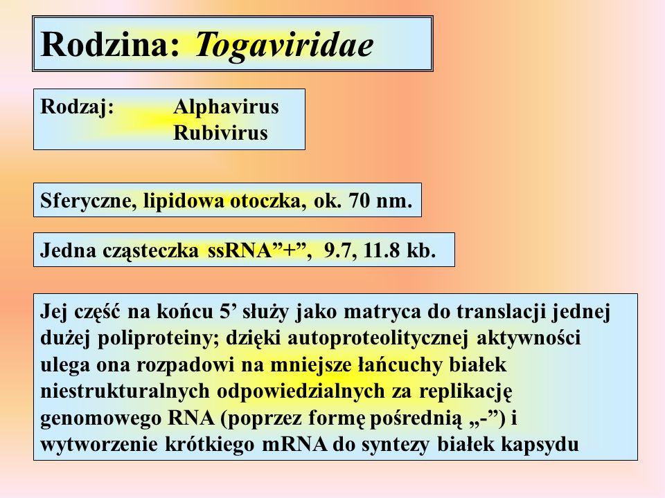 Rodzina: Togaviridae Rodzaj:Alphavirus Rubivirus Sferyczne, lipidowa otoczka, ok. 70 nm. Jedna cząsteczka ssRNA+, 9.7, 11.8 kb. Jej część na końcu 5 s