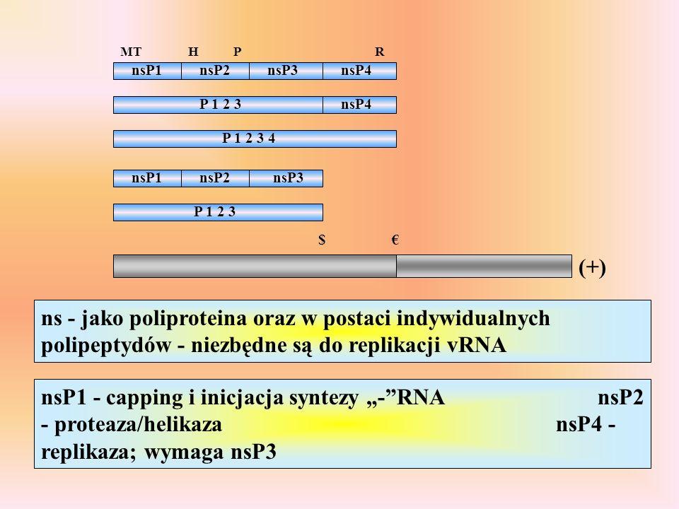 P 1 2 3 nsP4 P 1 2 3 4 nsP1nsP2nsP3nsP4 nsP1nsP2nsP3 (+) P 1 2 3 $ MTHPR ns - jako poliproteina oraz w postaci indywidualnych polipeptydów - niezbędne są do replikacji vRNA nsP1 - capping i inicjacja syntezy -RNA nsP2 - proteaza/helikaza nsP4 - replikaza; wymaga nsP3