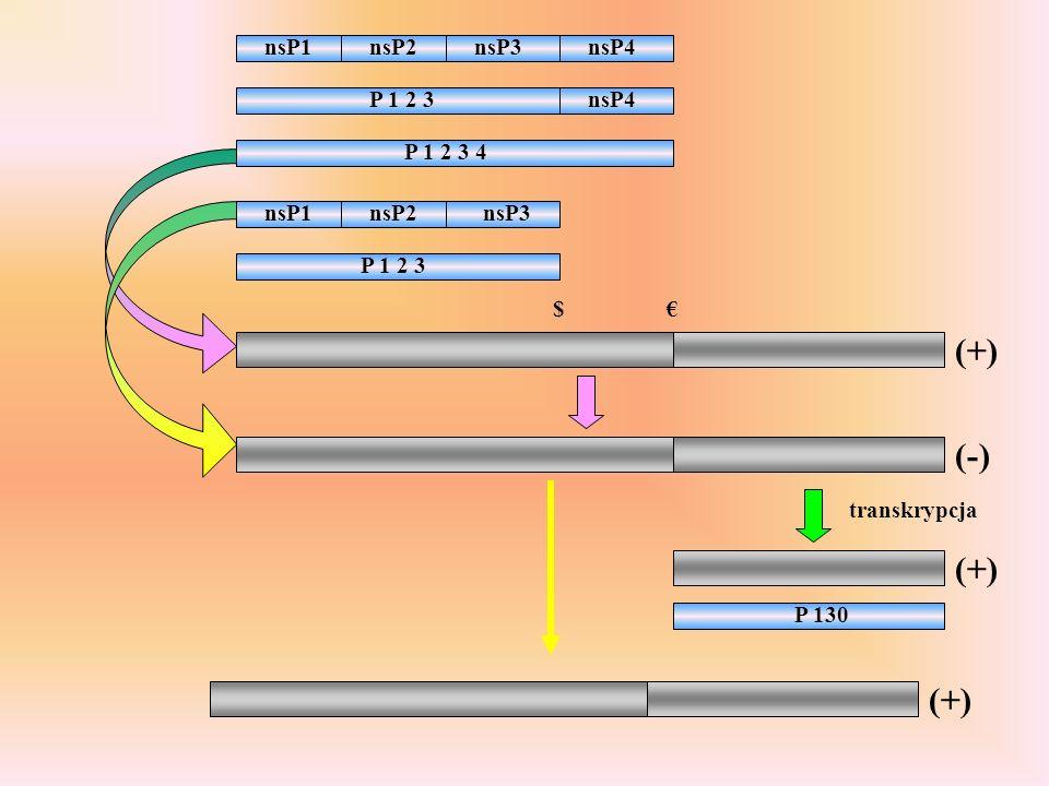 P 1 2 3 nsP4 P 1 2 3 4 nsP1nsP2nsP3nsP4 nsP1nsP2nsP3 (+) P 1 2 3 $ (-) transkrypcja (+) P 130 (+)