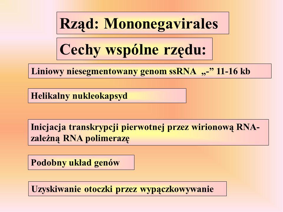 Rząd: Mononegavirales Cechy wspólne rzędu: Liniowy niesegmentowany genom ssRNA - 11-16 kb Helikalny nukleokapsyd Inicjacja transkrypcji pierwotnej przez wirionową RNA- zależną RNA polimerazę Podobny układ genów Uzyskiwanie otoczki przez wypączkowywanie