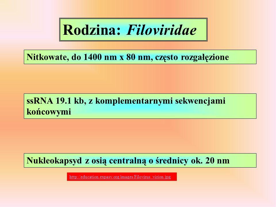 Rodzina: Filoviridae Nitkowate, do 1400 nm x 80 nm, często rozgałęzione ssRNA 19.1 kb, z komplementarnymi sekwencjami końcowymi Nukleokapsyd z osią ce