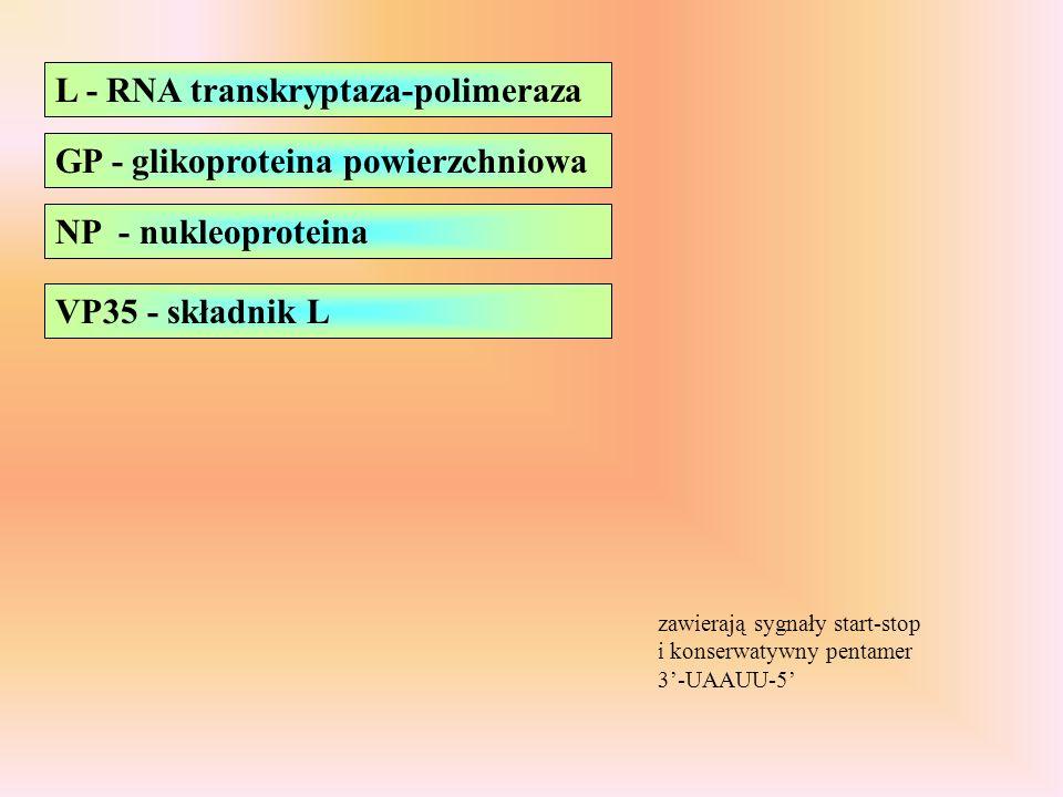 L - RNA transkryptaza-polimeraza GP - glikoproteina powierzchniowa NP - nukleoproteina zawierają sygnały start-stop i konserwatywny pentamer 3-UAAUU-5 VP35 - składnik L