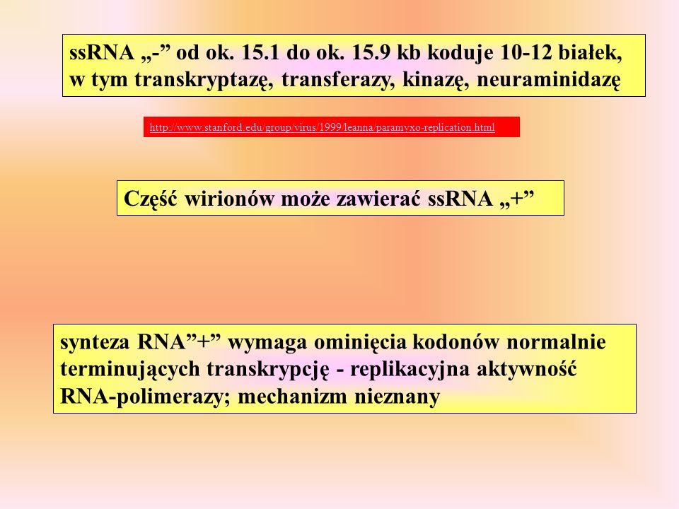 ssRNA - od ok.15.1 do ok.