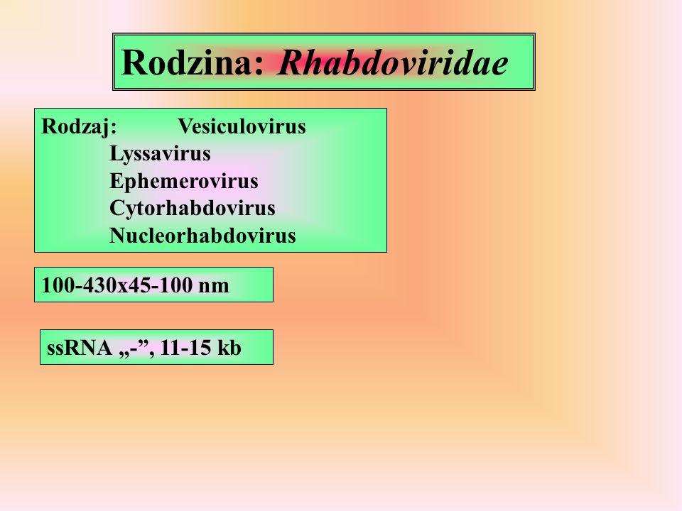 Rodzaj:Vesiculovirus Lyssavirus Ephemerovirus Cytorhabdovirus Nucleorhabdovirus 100-430x45-100 nm ssRNA -, 11-15 kb Rodzina: Rhabdoviridae