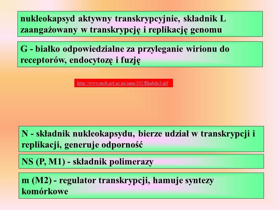 G - białko odpowiedzialne za przyleganie wirionu do receptorów, endocytozę i fuzję nukleokapsyd aktywny transkrypcyjnie, składnik L zaangażowany w transkrypcję i replikację genomu http://www.mcb.uct.ac.za/cann/335/Rhabdo3.gif N - składnik nukleokapsydu, bierze udział w transkrypcji i replikacji, generuje odporność NS (P, M1) - składnik polimerazy m (M2) - regulator transkrypcji, hamuje syntezy komórkowe