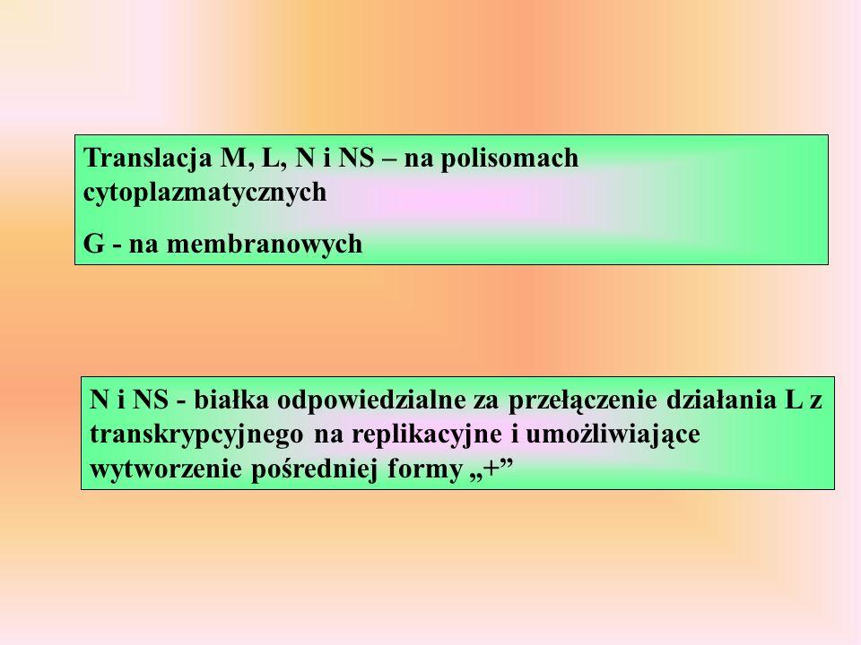 Translacja M, L, N i NS – na polisomach cytoplazmatycznych G - na membranowych N i NS - białka odpowiedzialne za przełączenie działania L z transkrypcyjnego na replikacyjne i umożliwiające wytworzenie pośredniej formy +