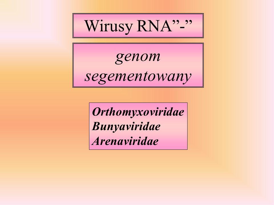 Wirusy RNA- genom segementowany Orthomyxoviridae Bunyaviridae Arenaviridae