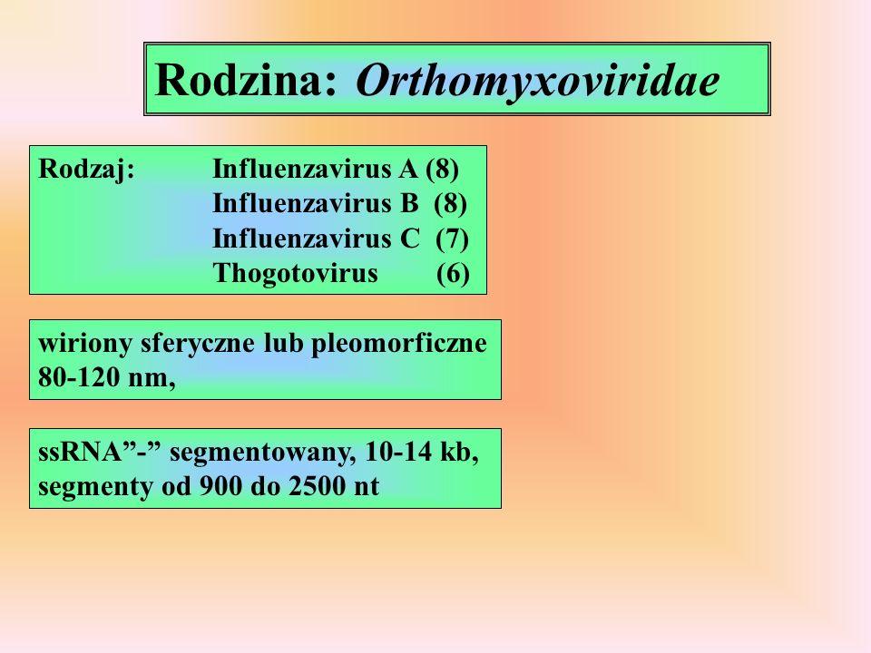 Rodzina: Orthomyxoviridae Rodzaj:Influenzavirus A (8) Influenzavirus B (8) Influenzavirus C (7) Thogotovirus (6) wiriony sferyczne lub pleomorficzne 80-120 nm, ssRNA- segmentowany, 10-14 kb, segmenty od 900 do 2500 nt