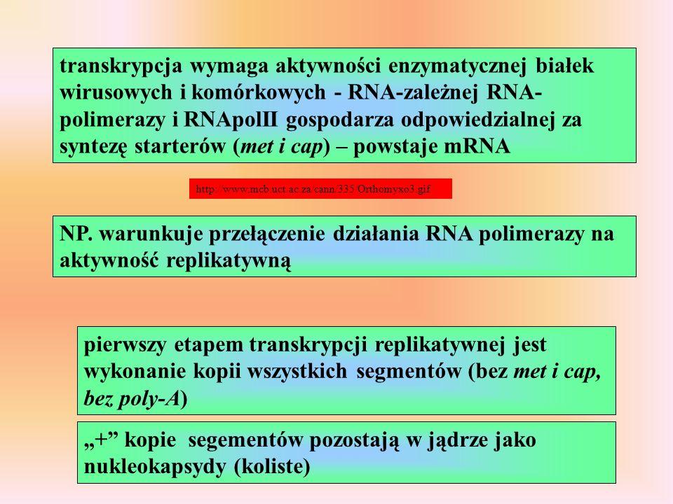 transkrypcja wymaga aktywności enzymatycznej białek wirusowych i komórkowych - RNA-zależnej RNA- polimerazy i RNApolII gospodarza odpowiedzialnej za syntezę starterów (met i cap) – powstaje mRNA http://www.mcb.uct.ac.za/cann/335/Orthomyxo3.gif NP.