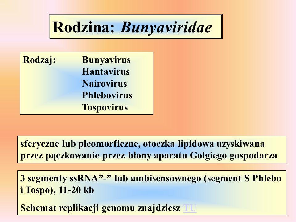 Rodzina: Bunyaviridae Rodzaj:Bunyavirus Hantavirus Nairovirus Phlebovirus Tospovirus sferyczne lub pleomorficzne, otoczka lipidowa uzyskiwana przez pą