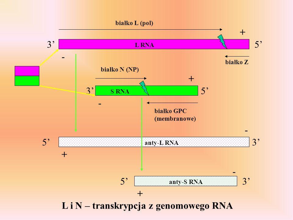 3 35 5 L RNA S RNA białko L (pol) białko Z białko N (NP) białko GPC (membranowe) - - + + 3 3 - - + + 5 5 anty-L RNA anty-S RNA L i N – transkrypcja z